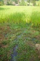 agua en el campo de arroz