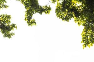 ramas de árboles, fondo blanco foto