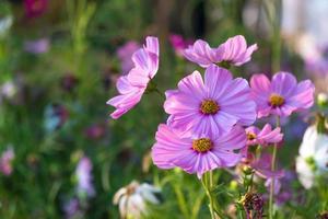 flores de margarita en flor foto