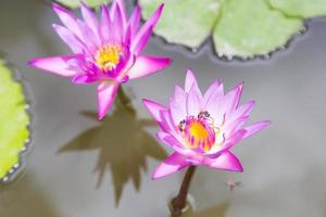 Violet lotuses blooming, close-up photo