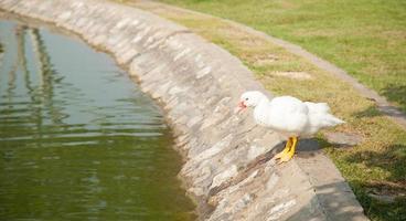 pato blanco al lado de la piscina. foto