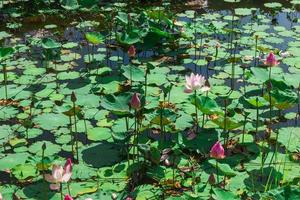 Pond filled with water lillies