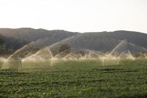 Irrigation sprinklers in a basil field at sunset