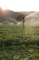 Aspersores de riego en un campo de albahaca al atardecer