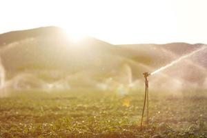 Irrigation sprinkler in a basil field at sunset