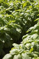Close-up of a row of basil in Liguria region in Italy