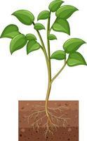 mostrando planta con raíces aisladas sobre fondo blanco vector
