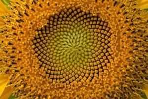 Close-up of the middle of a sunflower photo