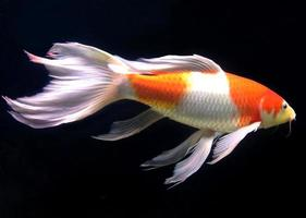 White and orange fish in aquarium photo