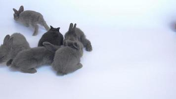 Twenty days rabbits on white background video