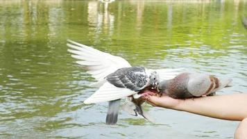 homem está alimentando pombos em parque público video
