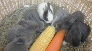 Lovely twenty days baby rabbit eating carrot and corn in a hay nest video
