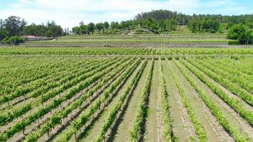 Vista aérea de un viñedo de uvas de vino