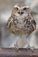 Burrowing owl on log