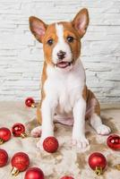 Portrait of Basenji puppy looking at camera with red Christmas ornaments