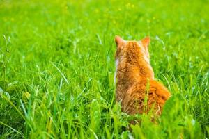 Orange cat sitting back to camera turned on grass