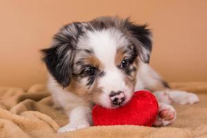 Retrato de cachorro de pastor australiano merle rojo con corazón rojo almohada foto