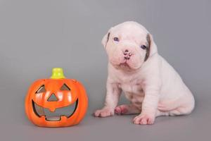 Portrait of American bulldog puppy looking at camera and carved pumpkin