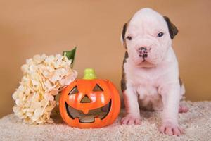Portrait of American bulldog puppy looking at camera with carved pumpkin and flowers