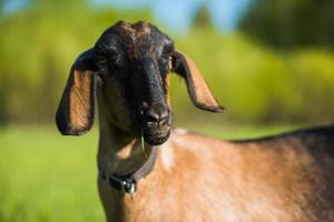 Portrait of South African boer goat