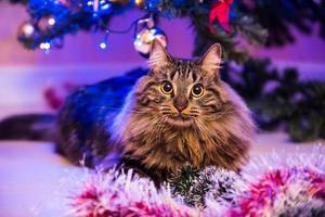 Portrait of Norwegian cat next to Christmas tree