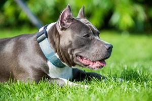 Side view portrait of Blue American Staffordshire terrier in grass