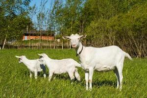 Cabra blanca con dos cabritos sobre el césped