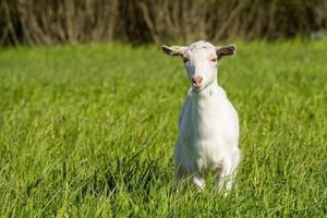 Young white goat in green grass
