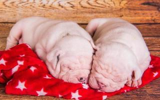 Portrait of two American bulldog puppies sleeping on red blanket