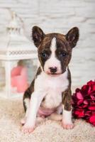 Portrait of basenji puppy looking at camera with lantern, candle, and ornaments
