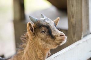 Cabra bebé mirando desde el pasador