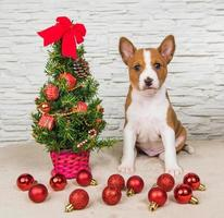 Portrait of Basenji puppy with Christmas tree and red ornaments
