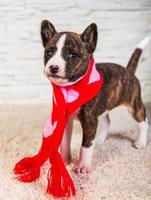 Portrait of basenji puppy looking at camera in red and pink scarf