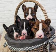 Four basenji puppies in a basket