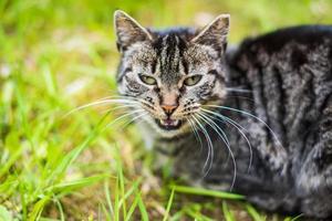 Gray tabby cat on green grass photo