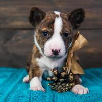 Portrait of basenji puppy with gold bow and pine cone