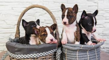 Four basenji puppies in baskets
