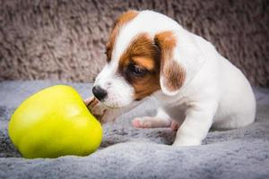 Portrait of Jack Russell terrier puppy with yellow apple photo