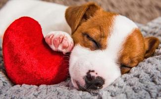 Portrait of Jack Russell terrier puppy sleeping with red heart pillow