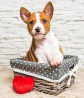 Portrait of Basenji puppy looking at camera in a basket