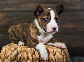 Portrait of basenji puppy on wicker basket with wood background