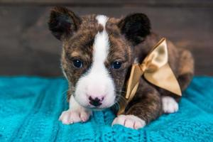 Portrait of basenji puppy with gold bow