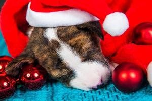 Portrait of basenji puppy in Santa hat with red ornaments