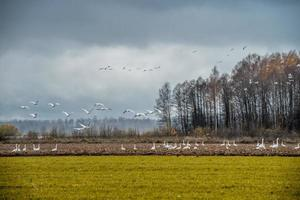 Flock of swans flying over and walking on field