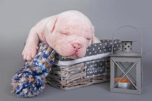 Portrait of American bulldog puppy sleeping in wicker basket next to candle lantern photo