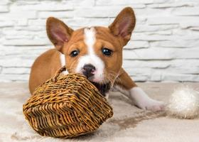 Portrait of basenji puppy chewing on a wicker basket and white cotton balls