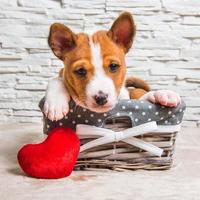 Portrait of basenji puppy in a wicker basket with red heart pillow