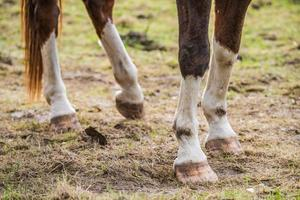 Close-up of brown and white horse legs and hooves