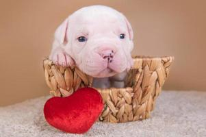 Portrait of American bulldog puppy in a basket with red heart pillow