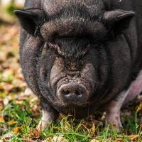 Portrait of Vietnamese pot-bellied pig looking at camera